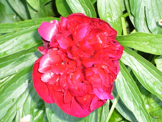 Paeony rubra (Paeonia)