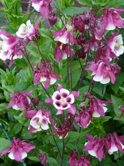 another lovely aquilegea (Aquilegia sp)