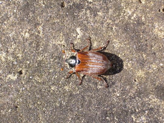 A May Bug