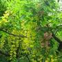 +Laburnocytisus_adamii_2flowers2.jpg (+Laburnocytisus adamii)