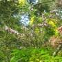 _laburnocytisus_adamii_cytisus_flowers