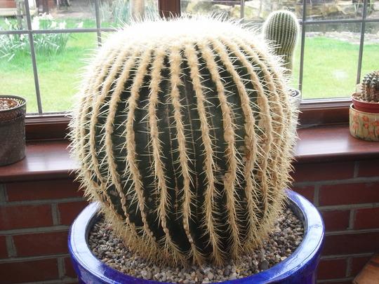 Echinocactus Grusonii (Echinocactus grusonii (Golden barrel cactus))