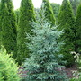 Picea obovata 'Glauca'