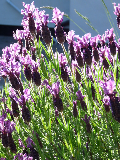 Lavender  (Lavandula stoechas (French lavender))