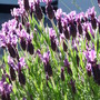 Lavender  (Lavandula stoechas (French lavender))