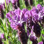 Lavender close-up (Lavandula stoechas (French lavender))