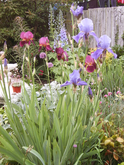 My bearded irises