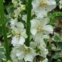 Creamy white Verbascum (Verbascum)