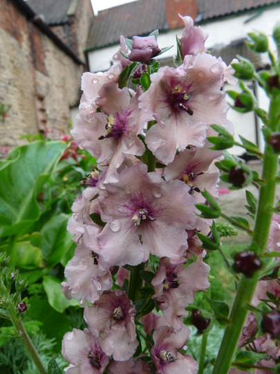 Strawberry pink Verbascum (Verbascum)