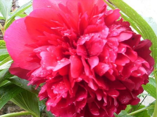 Paeony Flower..
