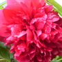Paeony Flower..
