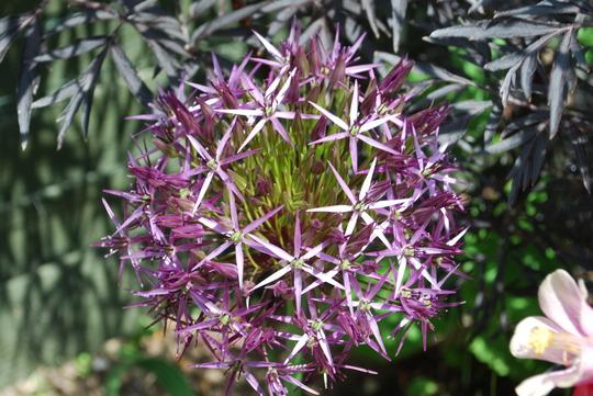 Allium Christophii. (Allium christophii (Persian Onion))