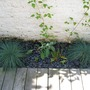 blue grass elijah blue may 2009 (Festuca glauca (Elijah Blue))
