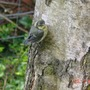 Fledgling_bluetit_3