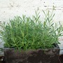 dutch lavender may 2009 (lavendula vera)