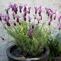french lavender may 2009 (Lavandula stoechas (papillon))