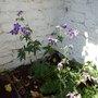 geranium may 2009 (Geranium pratense (Meadow cranesbill))