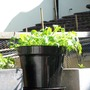 salad leaves may 2009