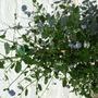 skylark may 2009 (Ceanothus thyrsiflorus (Blue Blossom))