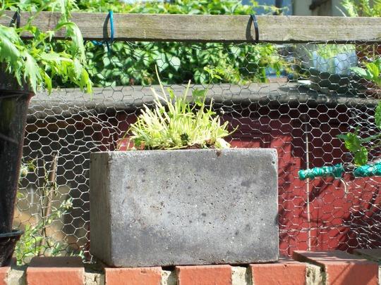 parsley may 2009 (Petroselinum crispum (Parsley))
