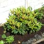 Rhododendron Grumpy may 2009 (rhododendron yakushimanum 'grumpy')
