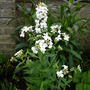 White_hesperis_27_05_09