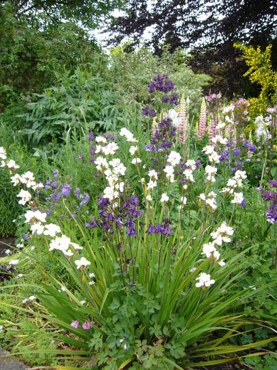 Libertia in front bed (Libertia grandiflora)
