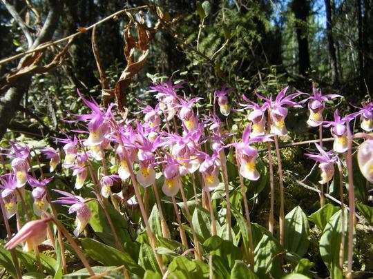 Wild Calypso Orchid 2