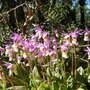 Wild Calypso Orchid 2