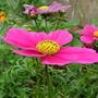 Pink_cosmos_may_2009