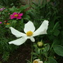 White_cosmos_may_2009