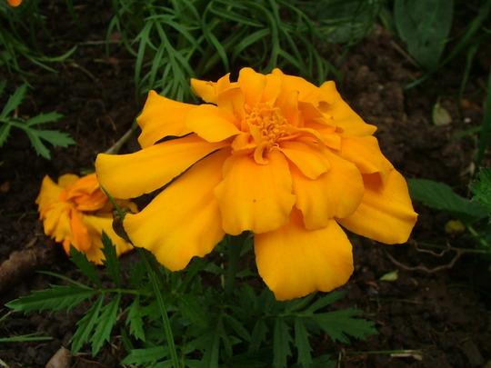 Lovely Marigolds (Tagetes patula (French marigold))