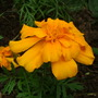 Marigold_may_2009