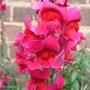 A garden flower photo (Antirrhinum majus)