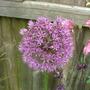 Allium_1_may_2009