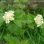 Viburnum_opulus_flower_may_2009