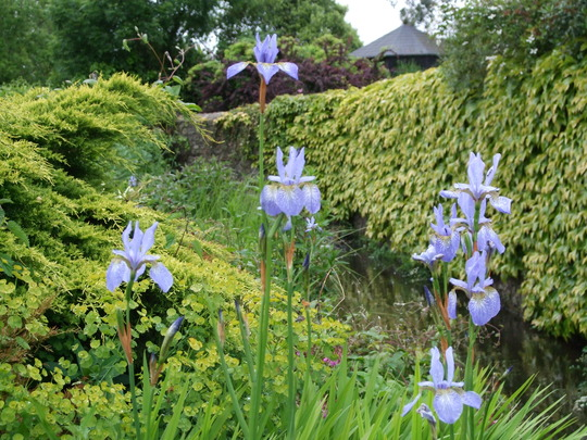 Iris sibirica on the stream bank. (Iris sibirica (Siberian iris))
