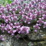 Thymus serpyllum (Thymus serpyllum (Creeping thyme))