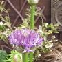 Allium27.5.09