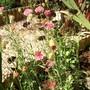 More of summer 2007 (Centaurea scabiosa (Centauree Scabieuse))