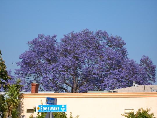 Jacaranda momosifolia - Jacaranda Tree (Jacaranda momosifolia - Jacaranda Tree)