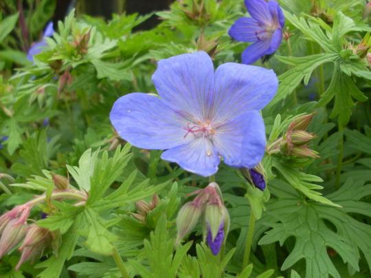 "Geranium."".johnsons blue""??"