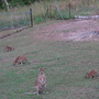 Wallaby_106