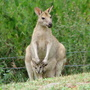 Wallaby_105