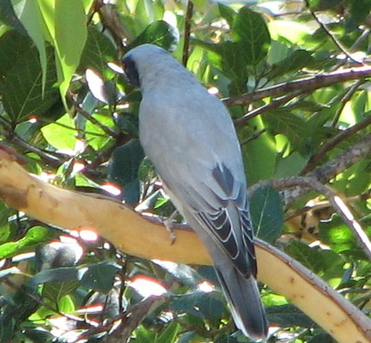 Garden visitor - white-bellied Cuckoo-shrike (keeping his identity a secret)