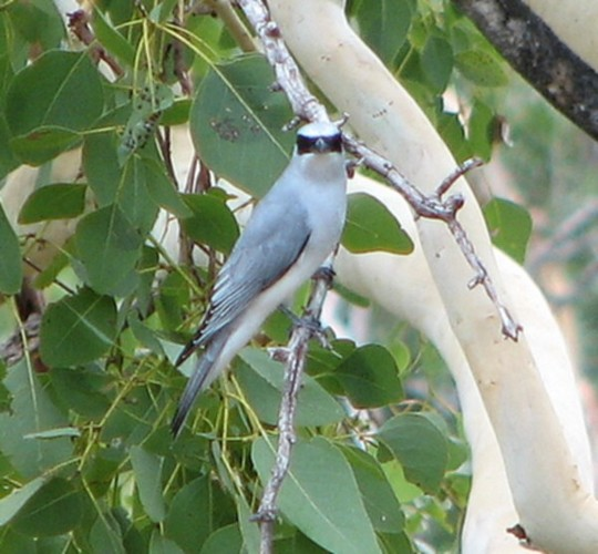 Garden visitor - White-bellied Cuckoo-shrike  (identity revealed)