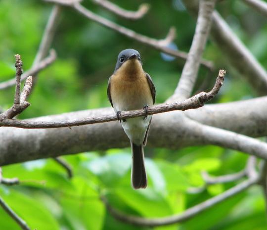 Garden visitor - Restless Flycatcher  (juvenile)