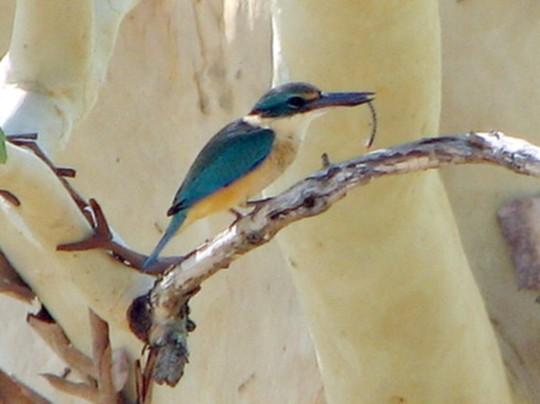 Garden visitor - Sacred Kingfisher
