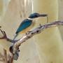 Sacred_kingfisher