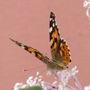 Brownbutterfly